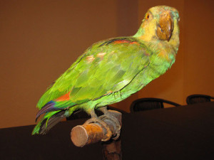 Papagei Lora